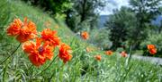 2nd Jun 2013 - Orange Poppies
