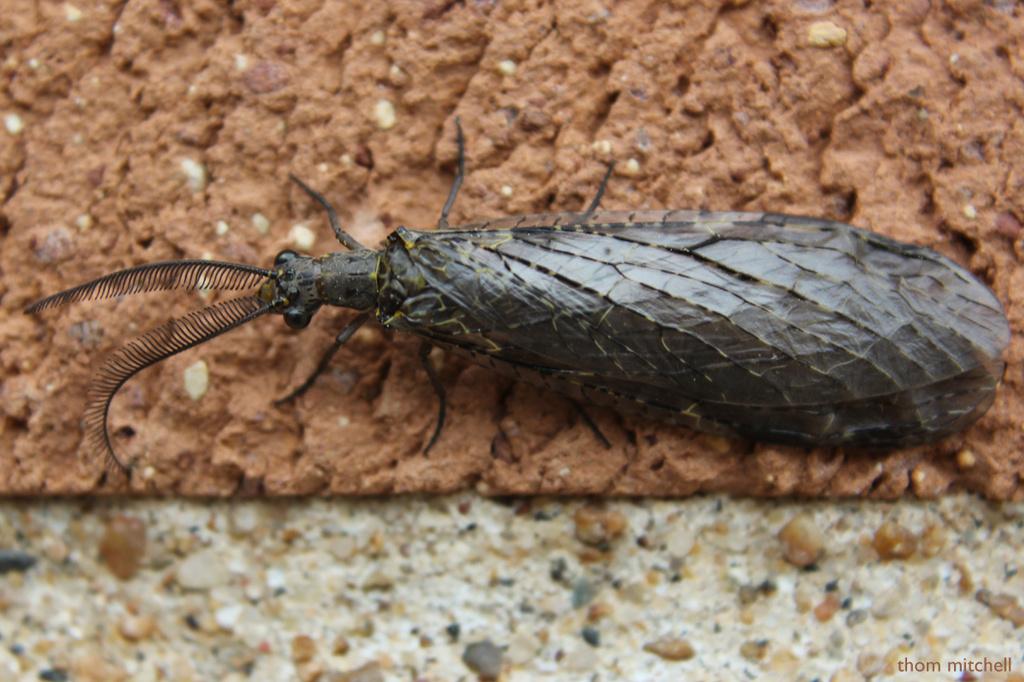 Spring fishfly by rhoing