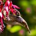 Hummingbird in Fuscia by jgpittenger