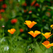 California Poppies  by jgpittenger