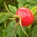 rosehip by pyrrhula