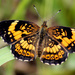 Silvery Checkerspot by cjwhite