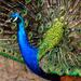 peacock by cdonohoue