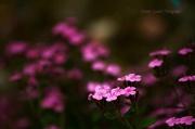 7th Jun 2013 - Blooming Flowers