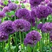 'bright': alliums 'purple sensation' by quietpurplehaze