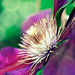 Up Close Clematis by pflaume