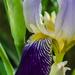 Iris by nicoleterheide