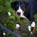 Daisy Hound (43/50) by grizzlysghost