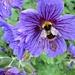 bee in blue by quietpurplehaze