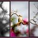 Kookaburra through the Camellia by annied