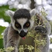 Katta - Ring tailed lemur by overalvandaan