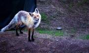 16th Jun 2013 - Curious Little Fox