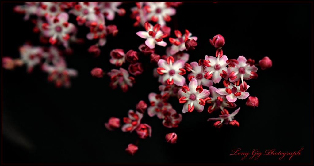 Elderberry Flower by tonygig
