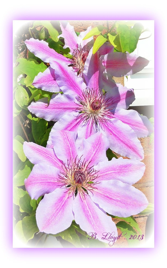 Bloomin' Nellie !!-- or -my blooming Nellie Moser Clematis ! by beryl