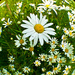 18th June Fisheye Daisy by pamknowler