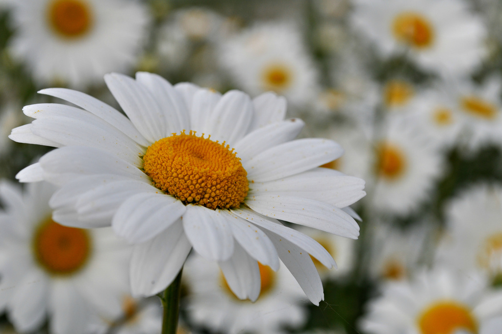 A Plethora of Daisies by andycoleborn