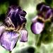 Velvet Iris by taffy