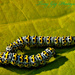 Caterpillars by tonygig