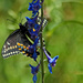 One long swallowtail by milaniet