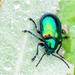 Dogbane Beetle  by kathyladley