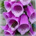 Foxglove and Common Carder Bee by judithdeacon