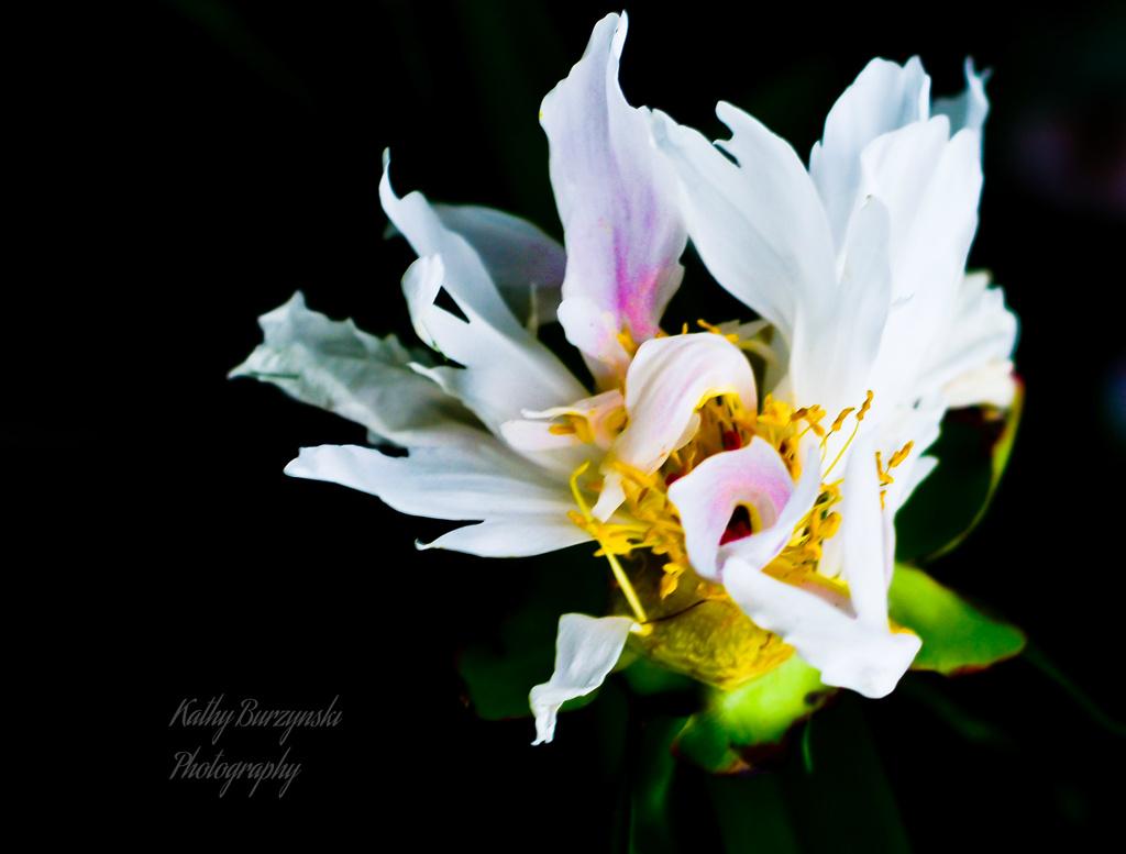 Flowering Firecracker by myhrhelper
