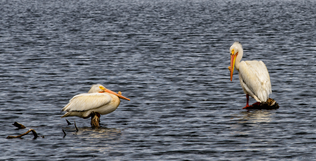 White Pelicans resting Before Babies  by jgpittenger