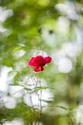 25th Jun 2013 - A Rose