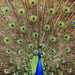 Peacocks at Kirby Hall by pistonbroke