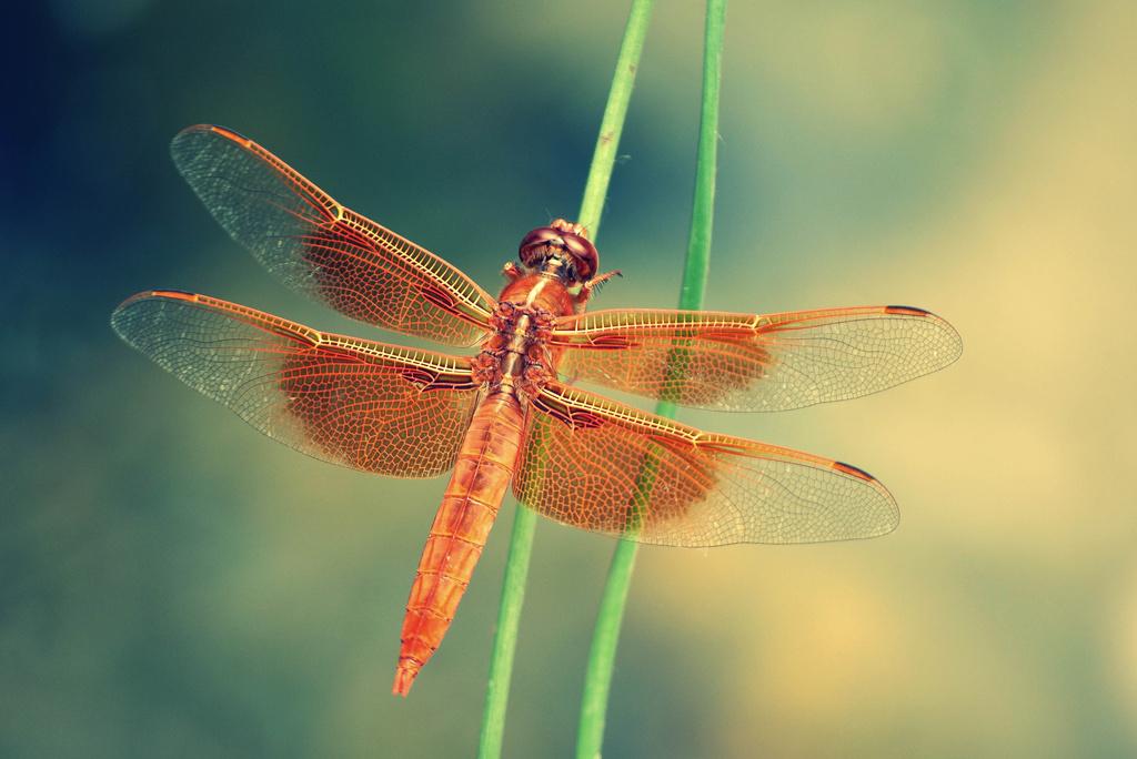 Gossamer Wings by pflaume