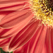 Day 179 - Gerbera by snaggy
