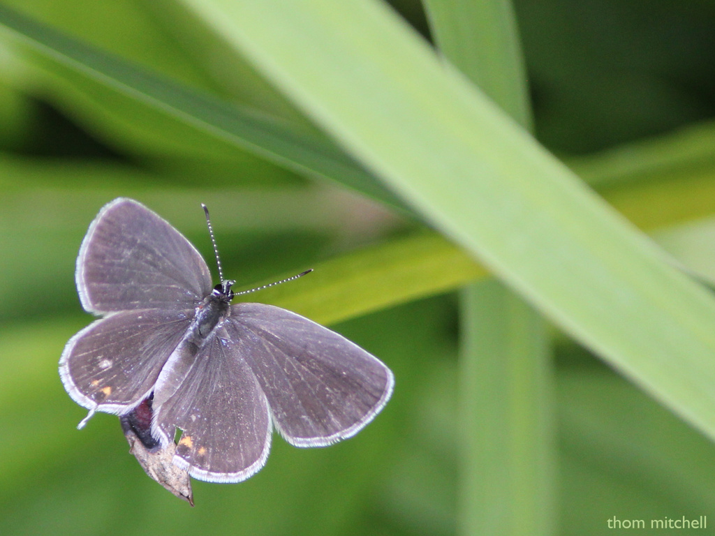 Eastern Tailed-Blue by rhoing
