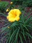 3rd Jul 2013 - Yellow  Daylily