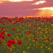 Poppies 1 crop by seanoneill