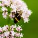 Bumblebee by elisasaeter