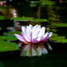 Water Lily by judithdeacon