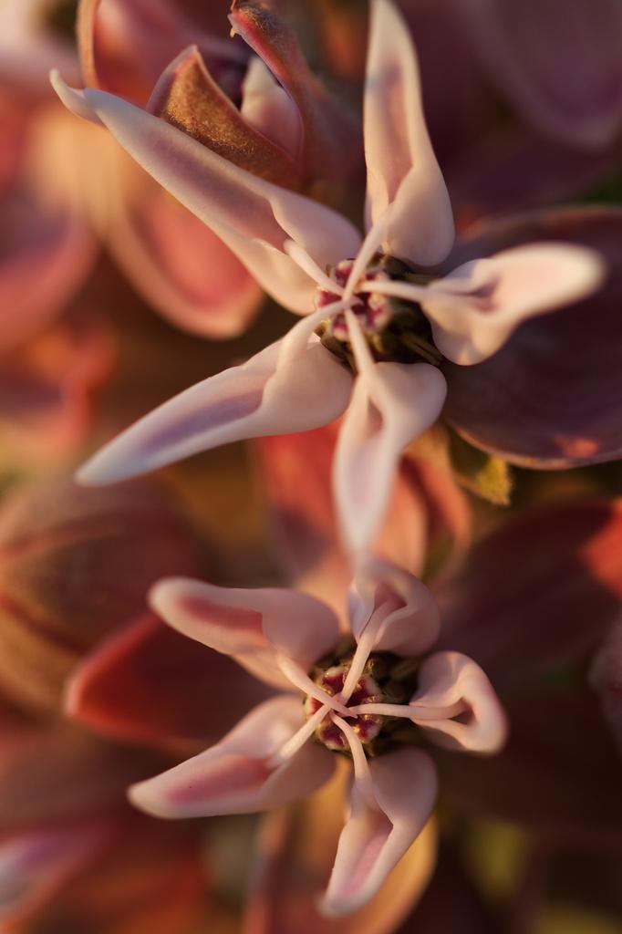 Milkweed by aecasey