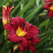 Dripping Wet Daylily by calm