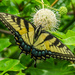 Eastern Tiger Swallowtail on Buttonbush by kathyladley