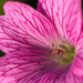 Day 186 - Burst of Pink by snaggy