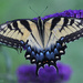 """""""Papilio glaucus"""" by rhoing"""