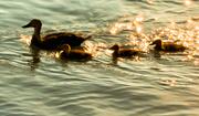 6th Jul 2013 - Glowing Ducks
