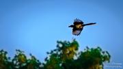 8th Jul 2013 - Day 189 - Magpie