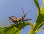 12th Jul 2013 - Older Wheel bug nymph