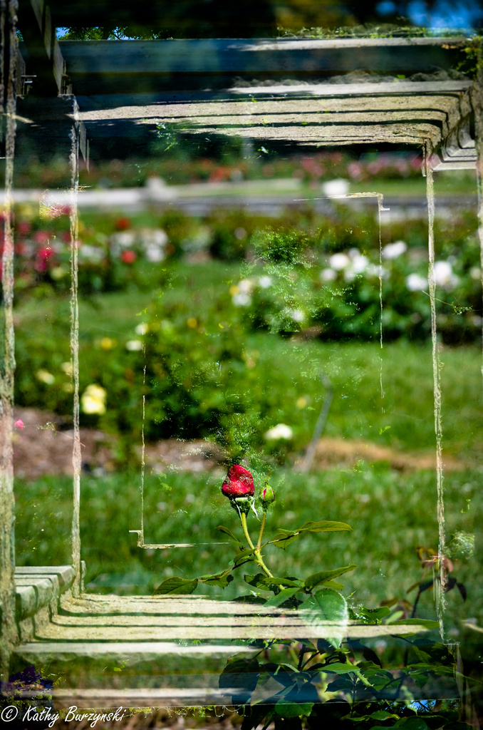 Framed Rose - In-Camera Double exposure - Get Pushed Challenge by myhrhelper