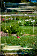 8th Jul 2013 - Framed Rose - In-Camera Double exposure - Get Pushed Challenge