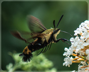 14th Jul 2013 -  Snowberry Clearwing Hummingbird Moth