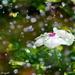 Flower Drops by myhrhelper
