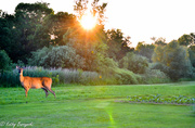 13th Jul 2013 - Sunshine Deer