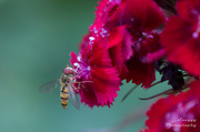 16th Jul 2013 - Day 197 - Hoverfly